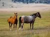 Sunlight Basin Horses (wyojones) Tags: wyoming cody sunlightbasin shoshonenationalforest ranch pasture horses
