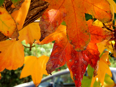 Fall Colour found at The Huntington. (vickilw) Tags: thehuntington fall color autumn 1052018 6ws leaf leaves 105118 100xthe2018edition 100x2018 image97100