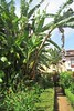 banana trees :) (green_lover) Tags: banana plants path botanicalgarden laorotava tenerife canaryislands spain green