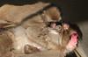 japanese macaque artis BB2A7761 (j.a.kok) Tags: mammal artis animal aap primaat primate monkey makaak macaque macaca japanesemacaque japansemakaak zoogdier dier asia azie