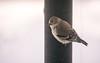 Goldfinch (JKLsemi) Tags: aroundthehouse intheyard throughthewindow birdfeeder bird finch goldfinch