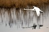 Swan in Flight (Nifty_Shoes) Tags: attenborough naturereserve birds wildlife nikon d600