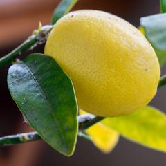 Lemon tree (Jump83) Tags: macromondays citrus