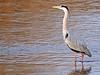 Garza real (Ardea cinerea) (50) (eb3alfmiguel) Tags: aves zancudas ciconiiformes ardeidae garza real ardea cinerea