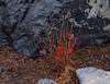 Winter Color-6944 (vern Ri) Tags: rain fog red winter rooseveltisland cornell fuji