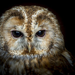 Unknown species of owl thumbnail