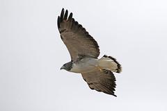 White-tailed Hawk (Alan Gutsell) Tags: bird birding alan southtexasbirds wildlife photo canon migration texas mexico rio grande whitetailed hawk whitetailedhawk raptor birdofprey flying