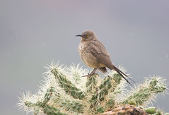 Curve billed Thrasher Lost dutchman park AZ (mandokid1) Tags: canon 1dx canon500f4 birds arizona