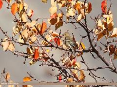 Chaffinch (Fringilla coelebs) (gilgit2) Tags: avifauna birds borit canon canoneos7dmarkii category chaffinchfringillacoelebs fauna feathers geotagged gilgitbaltistan gojal imranshah location pakistan species tags tamron tamronsp150600mmf563divcusd wildlife wings gilgit2 fringillacoelebs