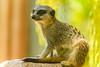 Slender Tailed Meerkat (Merrillie) Tags: slendertailedmeerkat meerkat zoo wildlife animals fauna animal
