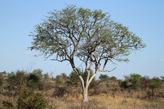 Tree sp - South Africa (Nick Dean1) Tags: tree plantae flora krugernationalpark southafrica