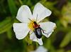 Darkling Beetle —— Heliotaurus ruficollis (creaturesnapper) Tags: portugal tavira insects coleoptera beetles europe tenebrionidae darklingbeetles heliotaurusruficollis