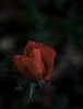 In loving memory... (louise peters) Tags: im inmemoryof inmemoriam rose roos