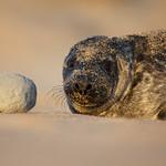 Seal pup thumbnail