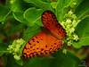 BUTTERFLY_AGRAULIS_VANILLAE_NACAVALA_MOZAMBIQUE (paulomarquesfotografia) Tags: paulo marques sony hx400v nacavala mozambique moçambique borboleta maracujá silvestre butterfly agraulis vanillae macro bokeh