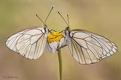Vergonzosa (raulgranados) Tags: mariposa flor aporia crataegi butterfly flower