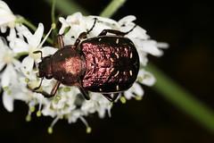 Gnorimus nobilis photographié en Pays-de-Combrailles (Puy-de-Dôme). (chug14) Tags: unlimitedphotos animalia arthropoda hexapoda insecta coleoptera scarabaeoidea cetoniidae