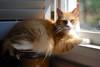 Jimmy (rootcrop54) Tags: jimmy male orange ginger tabby longhair furry sunny window catfoodcannister pretty light neko macska kedi 猫 kočka kissa γάτα köttur kucing gatto 고양이 kaķis katė katt katze katzen kot кошка mačka gatos maček kitteh chat ネコ cc100 cc400