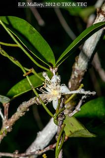 2012-10-12 TEC-0839 Chamguava gentlei - E.P. Mallory