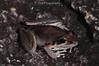 Litoria latopalmata (Broad-palmed Frog) (lorenzobertola) Tags: litoria latopalmata broadpalmed frog amphibian anura hylidae australia wet tropics