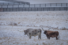 Side By Side, Always (JeffMoreau) Tags: longhorn texas pennsylvania sony a7ii 70200mm 200mm snow snowy amish country steer chestercounty cattle