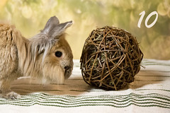 Birthday present (Gret B.) Tags: birthday bunny bunnybirthday rabbit kaninchen zwergkaninchen leo hase geburtstag weidenball