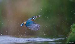 Kingfisher - IJsvogel - Alcedo atthis -1462 (Theo Locher) Tags: alcedoatthis ijsvogel vogels kingfisher eisvogel martinpecheur vögel oiseaux birds netherlands nederland copyrighttheolocher
