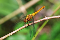 dragonfly (Jifeng-photo) Tags: marco canon closeup nature insects singapore