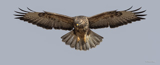 Buzzard_MG_9243