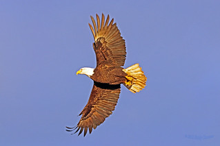 Bald Eagle Flying (Explored February 12, 2018) 18-0210-1907