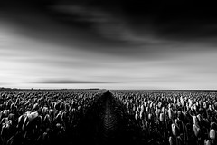 In wie Weit (Gruenewiese86) Tags: sonnenuntergang tulpen sonne schwarz schwarzweiss monochrome black blackandwhite nature