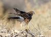 Northern Harrier (Ed Sivon) Tags: america canon nature lasvegas wildlife wild western southwest desert clarkcounty clark vegas birdofprey bird henderson nevada flickr preserve