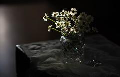 Leave The Light On (Captured Heart) Tags: chamomile chamomileflowers backlighting backlit flowers posies