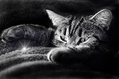 Catwish (Hugobian) Tags: cat pet star wish animal pentax k1 black white
