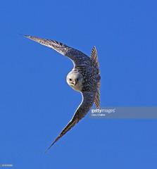 Gyr Saker Falcon (Gary Chalker, Thanks for over 3,000,000. views) Tags: gyr saker gyrsakerfalcon falcon pentax pentaxk3ii k3ii sigma300mmf28exdg 300mm f28 ex dg