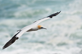 Gannet against the ocean