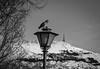 Enjoying the sun (MortenTellefsen) Tags: 2018 mars enjoying enjoy pigeons pigeon due ulriken bergen bw blackandwhite blackandwhiteonly bird birds artinbw norway norwegian monochrome mountain bnw