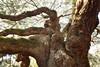 Closer Look at Angel Oak (esywlkr) Tags: nature tree liveoak angeloak sc southcarolina charleston