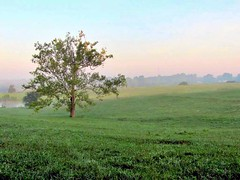 The Day Begins (David Hoffman '41) Tags: tree sycamore branches leaves morning mist colors pastel sky rural country pasture field grass farm land earth agriculture pond water summer solitary alone nature natural woods tower quiet peaceful tranquil serene hope positive charlottecourthouse charlottecounty virginia