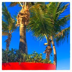 Potted Palm (Timothy Valentine) Tags: 0417 2017 hct plantstrees planter vacation palm fbpost sanjuan puertorico pr