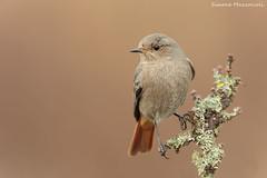 Codirosso spazzacamino (Simone Mazzoccoli) Tags: blackredstart bird birds nature wild wildlife outdoor light soflight details birdwatching