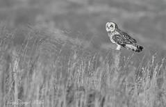SeO B&W. (nondesigner59) Tags: shortearedowl asioflammeus predator bird owl edited archives moorland perched copyrightmmee eos7dmkii nondesigner nd59