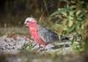 Galah (Eolophus rosiecapillus) (peter.carlsen) Tags: petercarlsen nikond500 nikkor200500mmf56 birds cockatoo australia wildlife nature