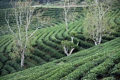 hill of tea (bluefam) Tags: tea hill