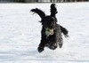 Spaniel playing in the snow (ftm599) Tags: happy nikon actionphotography action ears snowfun snow running playful playing spaniel cockerspaniel harlie pets pet dogs dog