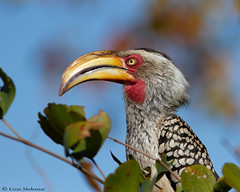 Southern Yellow-billed Hornbill (leendert3) Tags: select leonmolenaar southafrica krugernationalpark wildlife nature birds southernyellowbilledhornbill