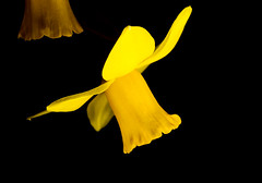 floating Daffodil 6 (PDKImages) Tags: daffodil yellow nature flowers petals flower macro macrophotography growing outdoors