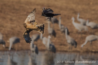 Northern Harrier (juvenile) harassed by a crow-0591