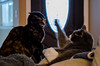 POTD 018 (Webtraverser) Tags: 365picturesin2018 catswillfight d7000 epiccatbattles everydayphotographerpictureoftheday frenemies nikon pad2018018 pictureaday tortie tortoiseshell