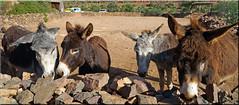 the Khenfouf four (mhobl) Tags: donkeys esel rettung safe wall farm khenfouf sidiifni morocco maroc âne